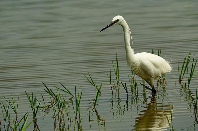 Známe druhy vodních ptáků?