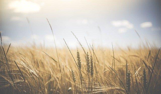 pšenice za západu slunce
